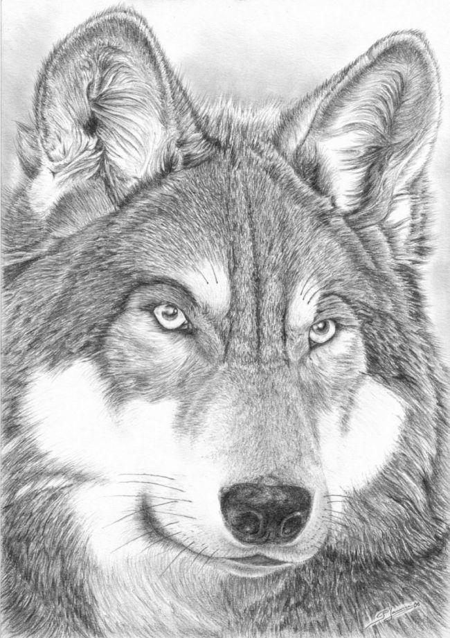Loup pelage travaillé