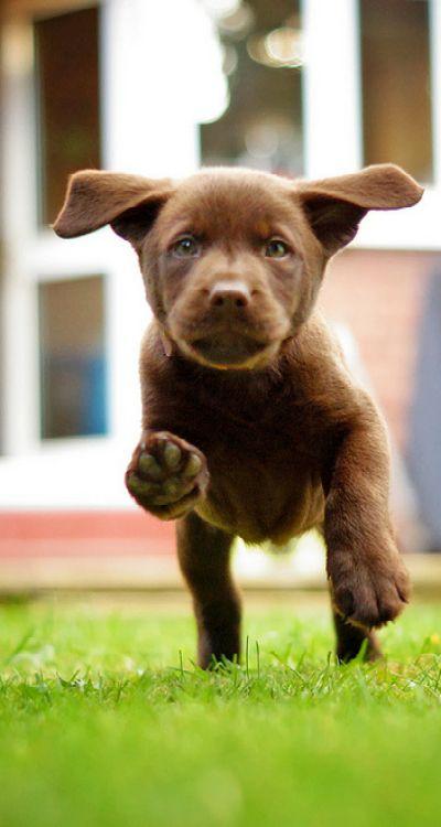I ♥ brown ( chocolate ) labs - ik ♥ van bruine labradors                                                                                                                                                                                 More