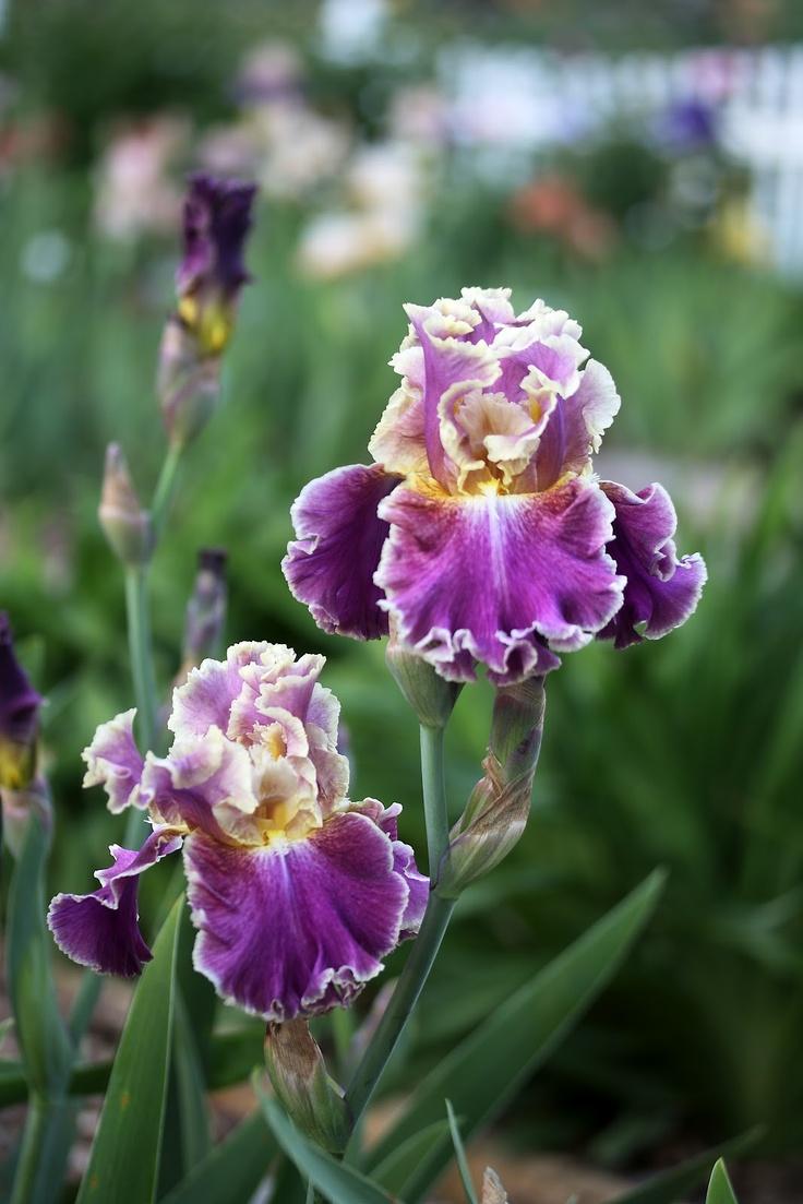 bearded iris montmartre