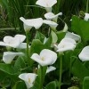 Our indigenous arum lilies are under threat! Find out how you can help protect them