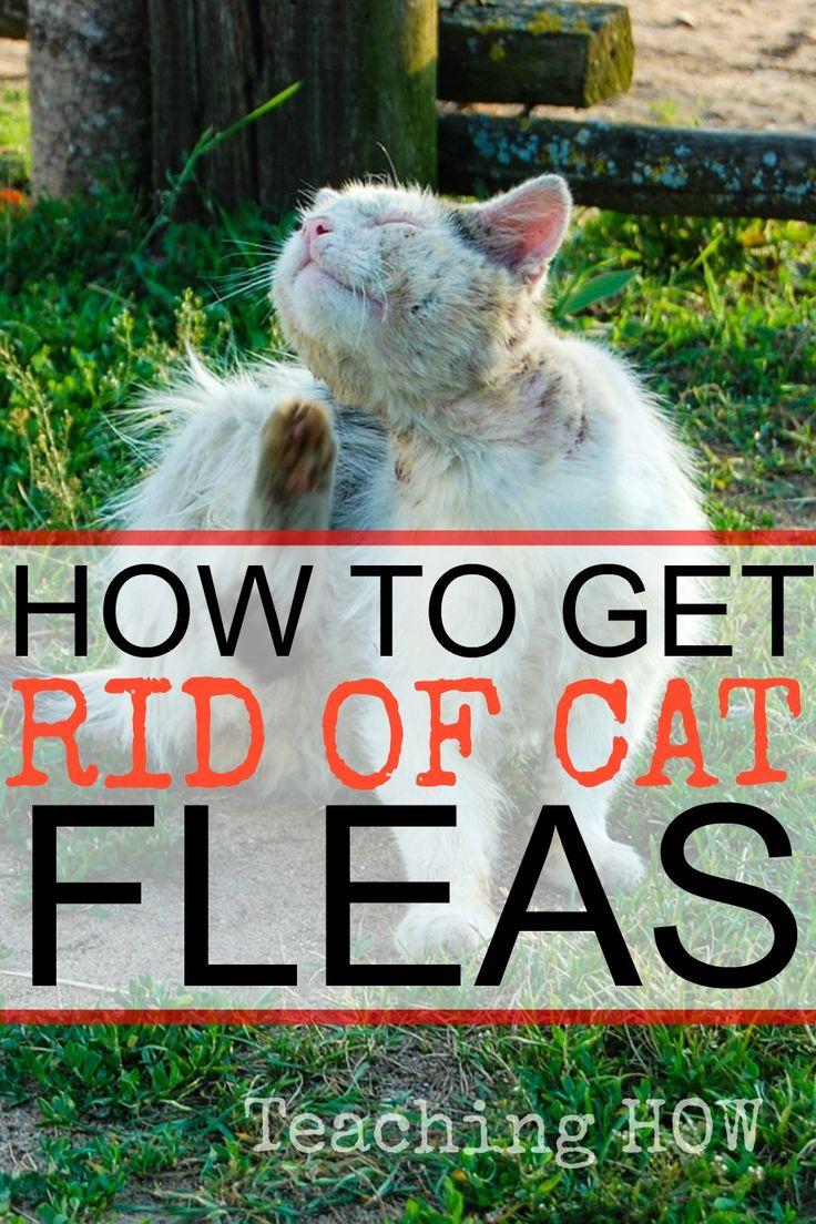 How to Get Rid of Cat Fleas Cat fleas, Fleas, Cats