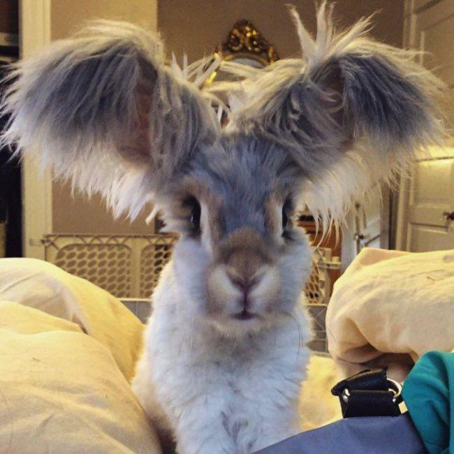 Wally is the cutest English Angora rabbit ever. l #wallyandmolly #instagram #star