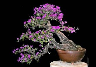 Bougainvillea Bonsai are fast growing, abundant blooms, love heat, tolerate cool, easy to care for, with alternate leaves. Love the colors of the flowers on this one.
