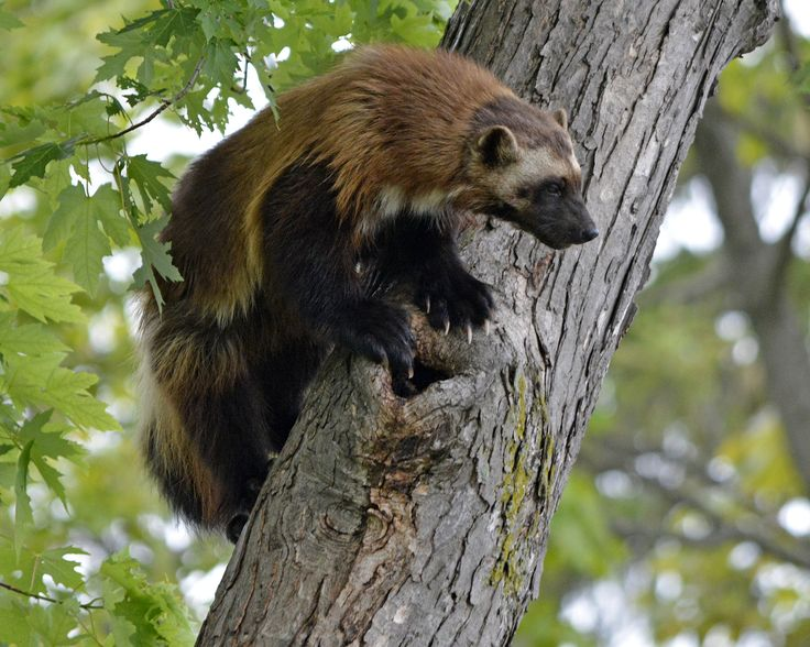 Wolverine (Gulo gulo). Photo by Liger 77 (at https://www.flickr.com/photos/87728632@N07/19375940840/).