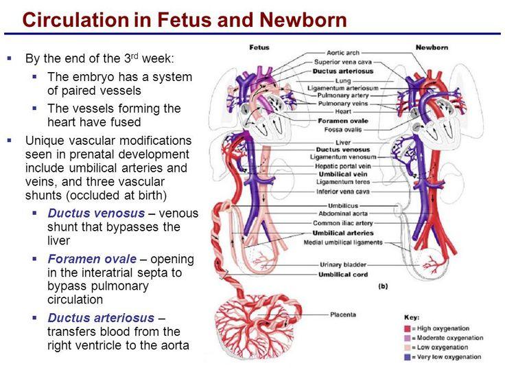 36 best Fetal Circulation images on Pinterest  Nursing