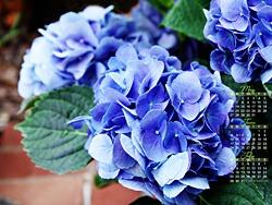 """June Calendar Wallpaper, """"Blue Hydrangeas,"""" on www.kate.net."""