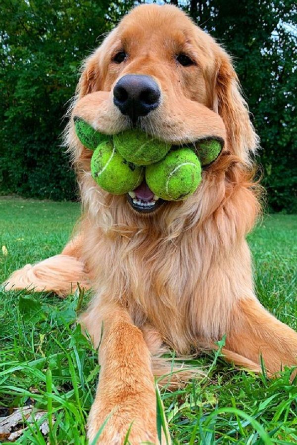 Ball Obsessed Golden Retriever Can Fit A Record Six Tennis Balls