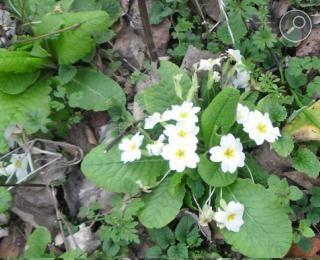 Πρίμουλα - Primula vulgaris στο βουνό