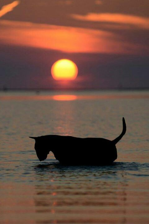 Sunset and a bull terrier