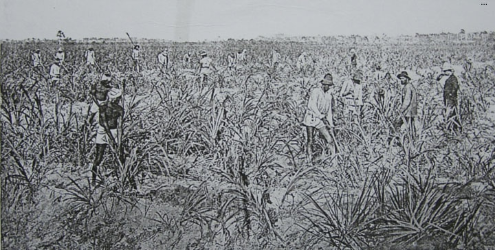 the impact of indentured labourers on caribbean society history essay Most of these indentured labourers were drawn from the agricultural and laboring classes of the uttar pradesh and bihar regions of north india, with a comparatively smaller number being recruited from bengal and various areas in south india.