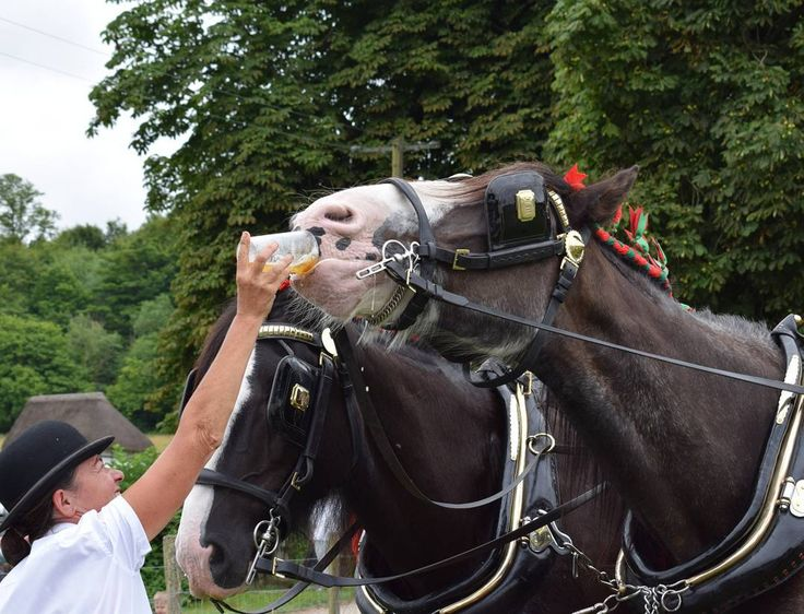 We had a terrific day at the Rare Breeds Show at @wealddownmuseum  The highlight for the boys was seeing the @Fullers dray horses cooling off with a pint of bitter