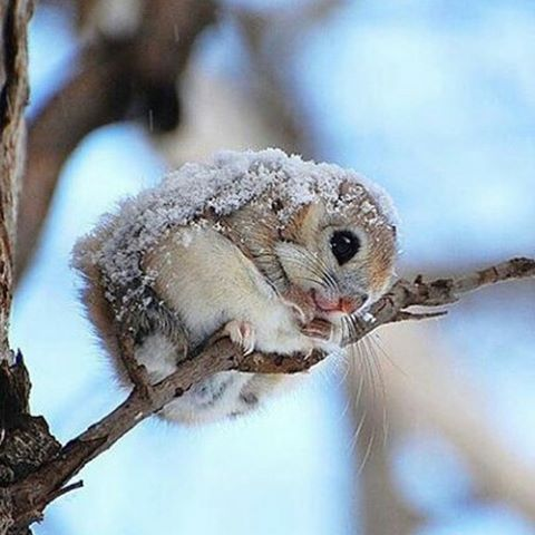 Japanese dwarf flying squirrel in the snow ❄️ ©Photography by: ©Tokumi