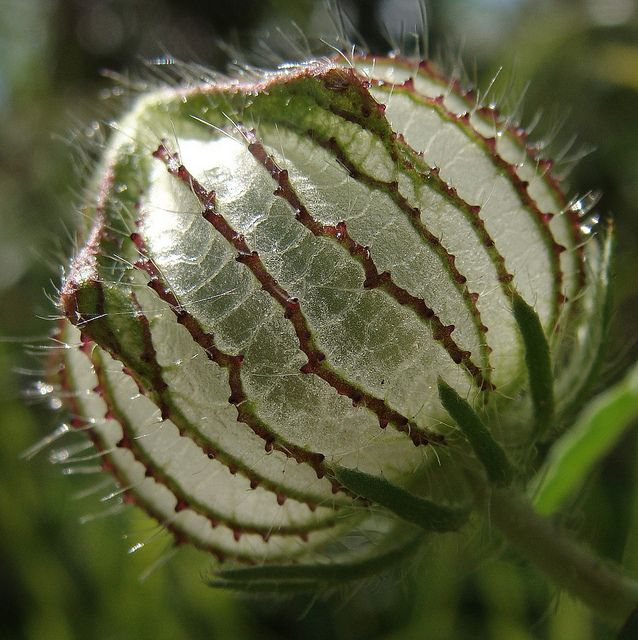glassy seedpod | Flickr - Photo Sharing!