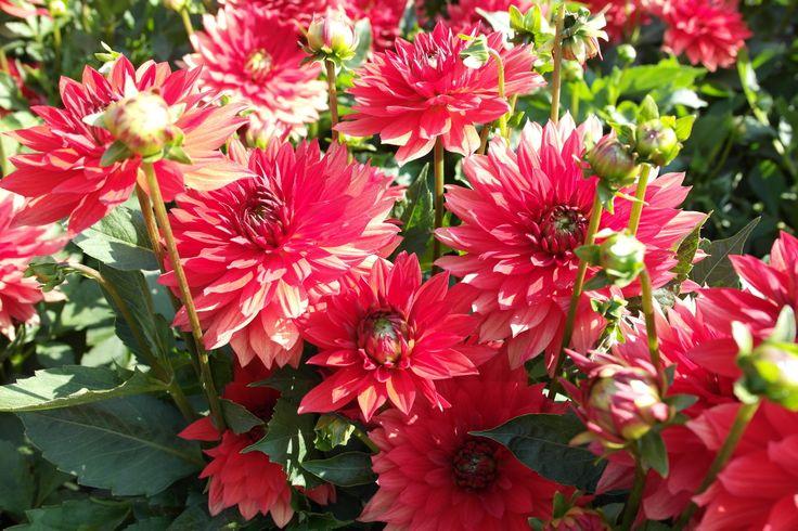 17 best images about bloemen planten flowers plants. Black Bedroom Furniture Sets. Home Design Ideas
