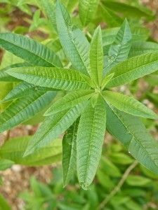 Really helpful lemon verbena growing info as well as what to do with it after you've harvested it!