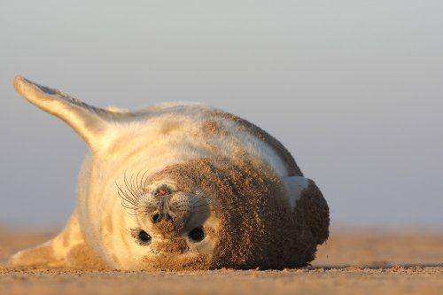 Wilde dieren in de winter Begin december doet de Britse kustlijn dienst als kraamkliniek. Door een uiterst laag standpunt in te nemen probeer ik de kijker mee te nemen in de leefwereld van de dieren. Canon EOS 1D MK III, EF 500 mm f/4 L USM. Gemaakt met rijstzak op de grond + beschermhoes tegen stuivend zand.