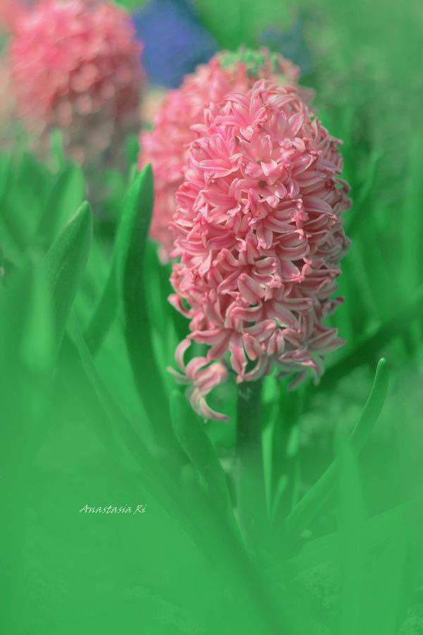 17 meilleures id es propos de bouquet de jacinthe sur pinterest renoncules blancs et fleurs. Black Bedroom Furniture Sets. Home Design Ideas
