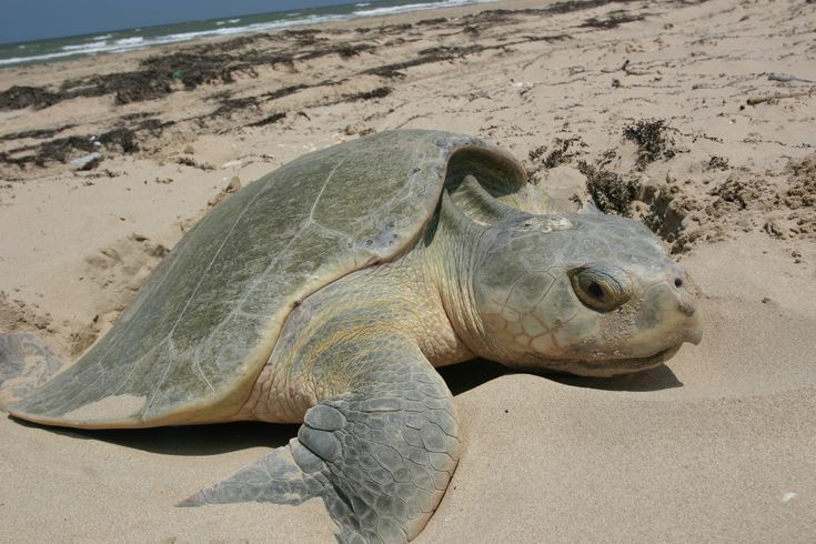 Rehabbed endangered turtles returned into the Gulf
