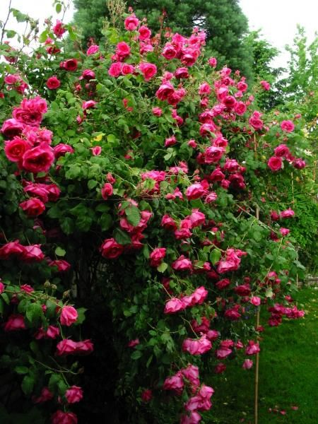climbing roses zone 8b   Garden Forum  Climbing Rose Recommendations Needed. 17 best ideas about Garden Forum on Pinterest   Companion planting