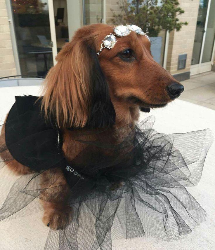The 25+ best Dachshund costume ideas on Pinterest   Weiner ...