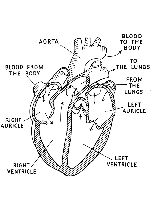 "human heart coloring page - Google Search except for the ""auricle"" is an ""atrium"""