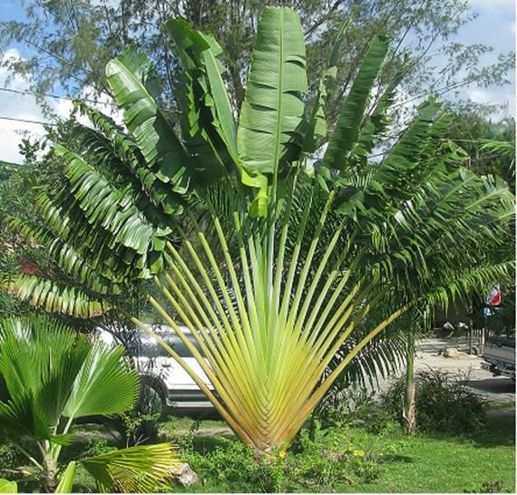 Ravenala Madagascariensis Traveler S Palm Madagascar Bird Of