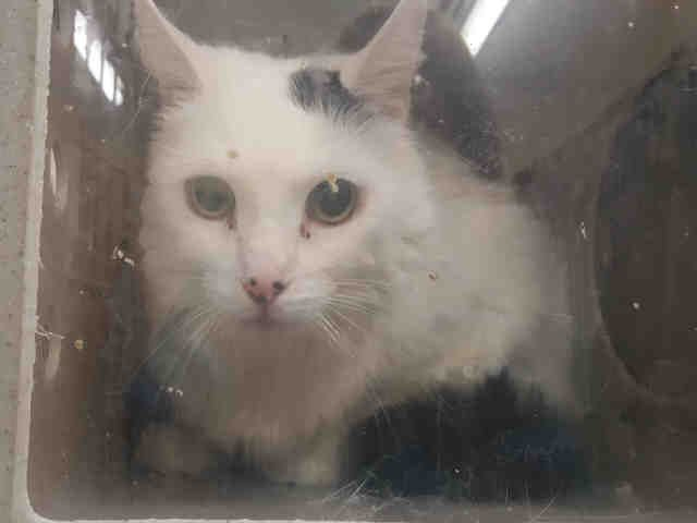 FROSTY - A1092913 - - Staten Island  ***TO BE DESTROYED 10/18/16***RARE THIRD CHANCE FOR FROSTY WHO IS PERFECTLY HEALTHY BUT SAD AND AFRAID SINCE SHE WAS BROUGHT TO THE SHELTER…..FROSTY's owner said she brought FROSTY in due to personal issues – and the ACC also said owner was sick. Whether or now we believe this to be true, the fact of the matter remains that FROSTY is now afraid and being punished with death for her fear. She is unhappy at the shelter be