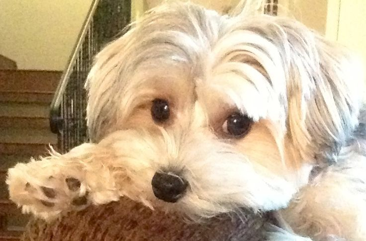 21 Best Morkie Cuts Grooming Images On Pinterest Yorkie Yorkshire Terriers And Yorkies