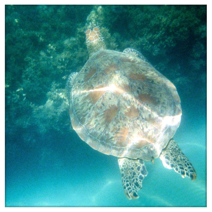 Snorkeling with Turtles. Hamilton Island. December 2013.