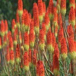 Le Kniphofia uvaria est une plante vivace originaires d'Afrique méridionale. C'est une plante si caractéristique avec ses splendides fleurs réunies en grappes denses au sommet de hampes sans feuilles. Originaires du sud de l'Afrique, ces végétaux sont classés dans la famille des aloeacées de part leurs ressemblance avec les aloes.