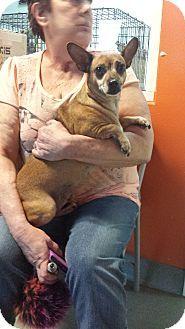 Westminster, CA - Chihuahua/Miniature Pinscher Mix. Meet Hobbs, a dog for adoption. http://www.adoptapet.com/pet/17836074-westminster-california-chihuahua-mix