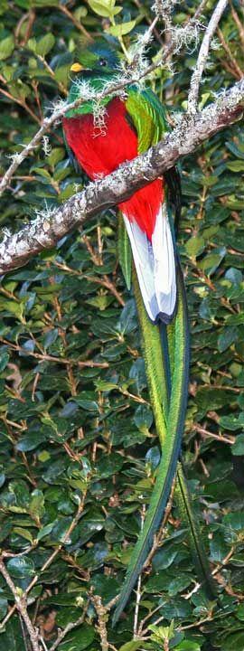 Quetzal Splendente maschio (Pharomachrus mocinno) #AnimaliVolanti #UccelliEsotici