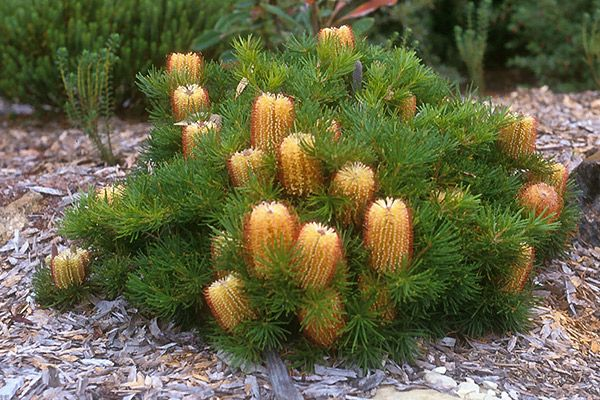 The Hairpin Banksia (Banksia spinulosa) is a species of woody shrub, of the genus Banksia in the Proteaceae family, native to eastern Australia. Widely distributed, it is found as an understorey plant in open dry forest or heathland from Victoria to northern Queensland, generally on sandstone though sometimes also clay soils. It generally grows as a small shrub to 2 metres (7 ft) in height, though can be a straggly tree to 6 metres (20 ft).