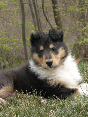 Pics Of Collie Puppies