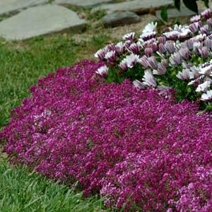 100 Best Images About Gf Lobularia Common Name Sweet