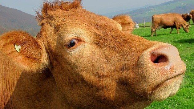 Los romanos mejoraron el ganado vacuno ibérico