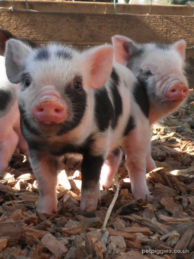 Micro pigs! They're big in the UK and slowly starting to make it to North America, one day one of these gorgeous little piggies will be mine!