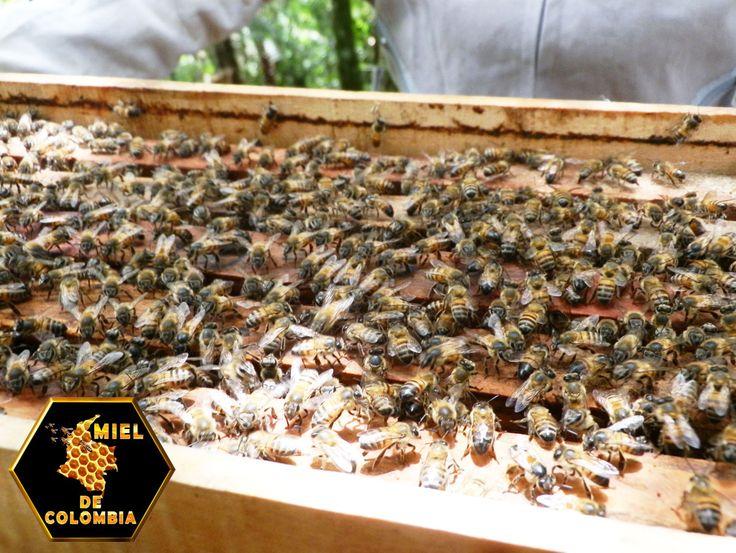 La miel contiene mucha cantidad de fructosa y glucosa. Naturalmente esto la hace un endulzante ideal - mucho más dulce, más o menos entre 20 y 60 por ciento más, que el azúcar mismo.