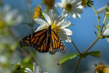 Monarch Butterflies, Monarch Butterfly Pictures, Monarch Butterfly Facts - National Geographic