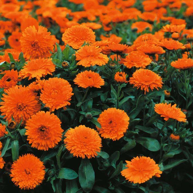 Calendula officinalis 'Candyman Orange' seeds Thompson