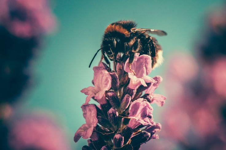 Descargar foto gratis de una abeja en una flor > http://imagenesgratis.eu/imagen-gratis-de-una-abeja-en-una-flor/