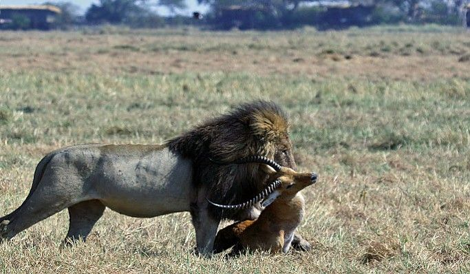 Never a dull moment on the Busanga Plains #Kafue #Zambia