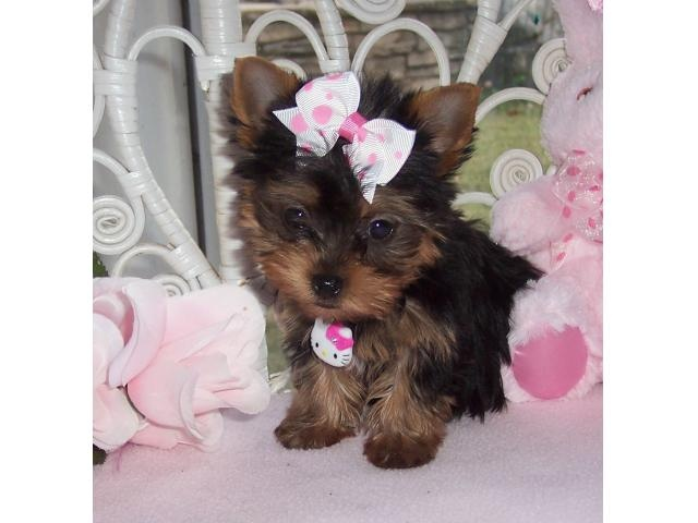 I have Three Cute Teacup yorkie Puppies for free Adoption.