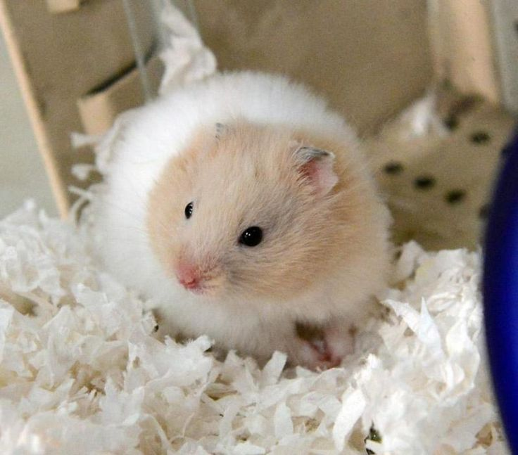 Meet longhair syrain, a Petfinder adoptable Hamster Hamster | San Jose, CA | NAME, AGE, GENDER INFONOTES SECTIONThis animal is available for adoption at Andy's Pet Shop in San...