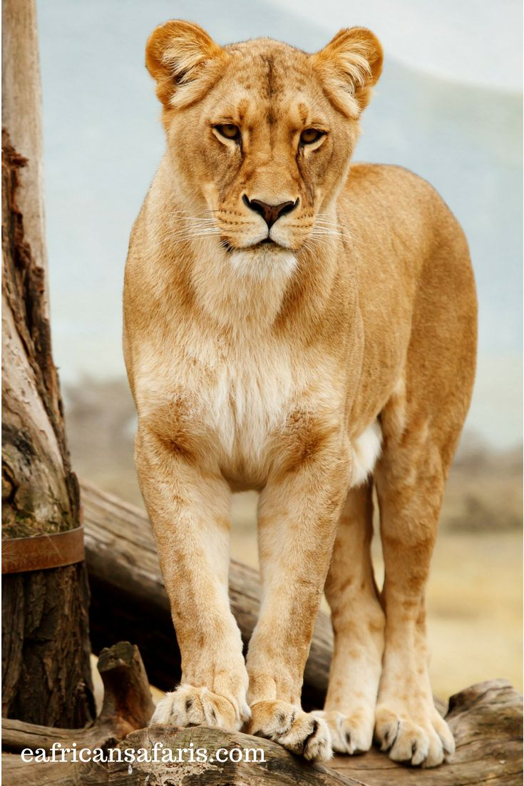 African Savannah Animals Facts Going On Safari Cat Care African Animals Animals