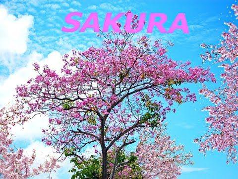 Sakura blossomed January 1, 2016 in Prague