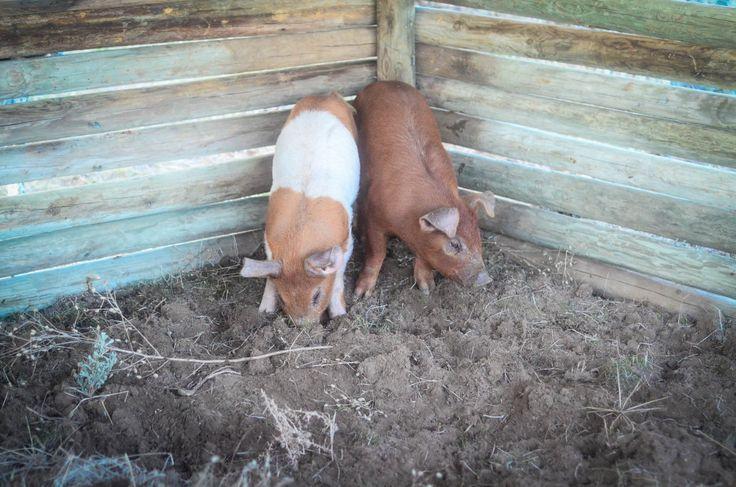 17 Best Images About Hog Traps On Pinterest Diy Door