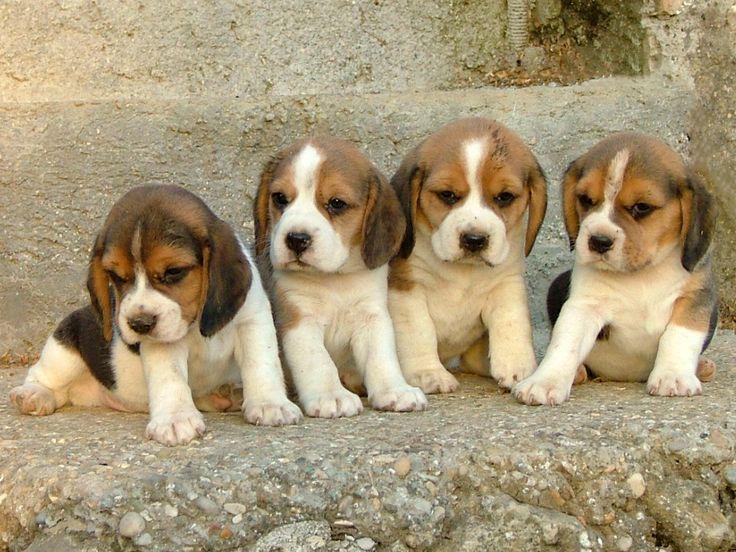 Beagle babies!!!