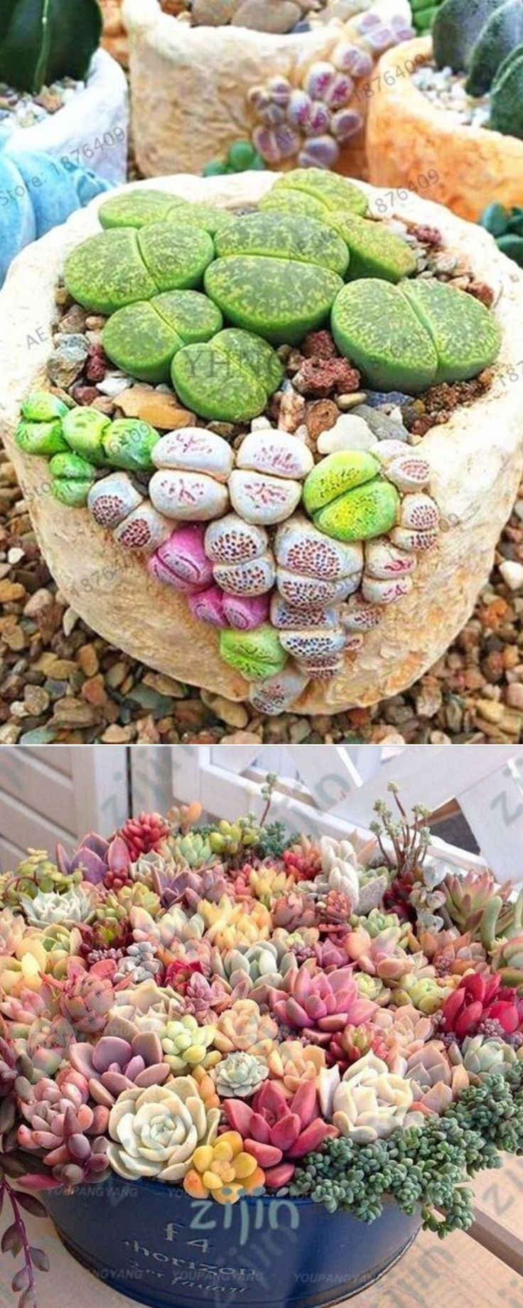 Flesh toned succulents – 500 seeds