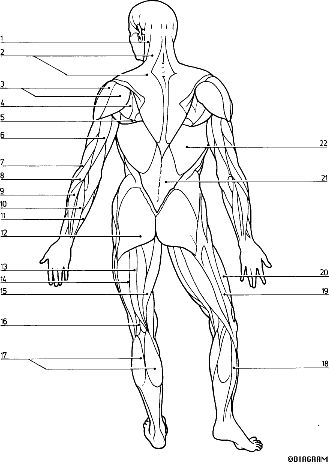 HTML_AP\Key diagram- 2--Muscular System (With images